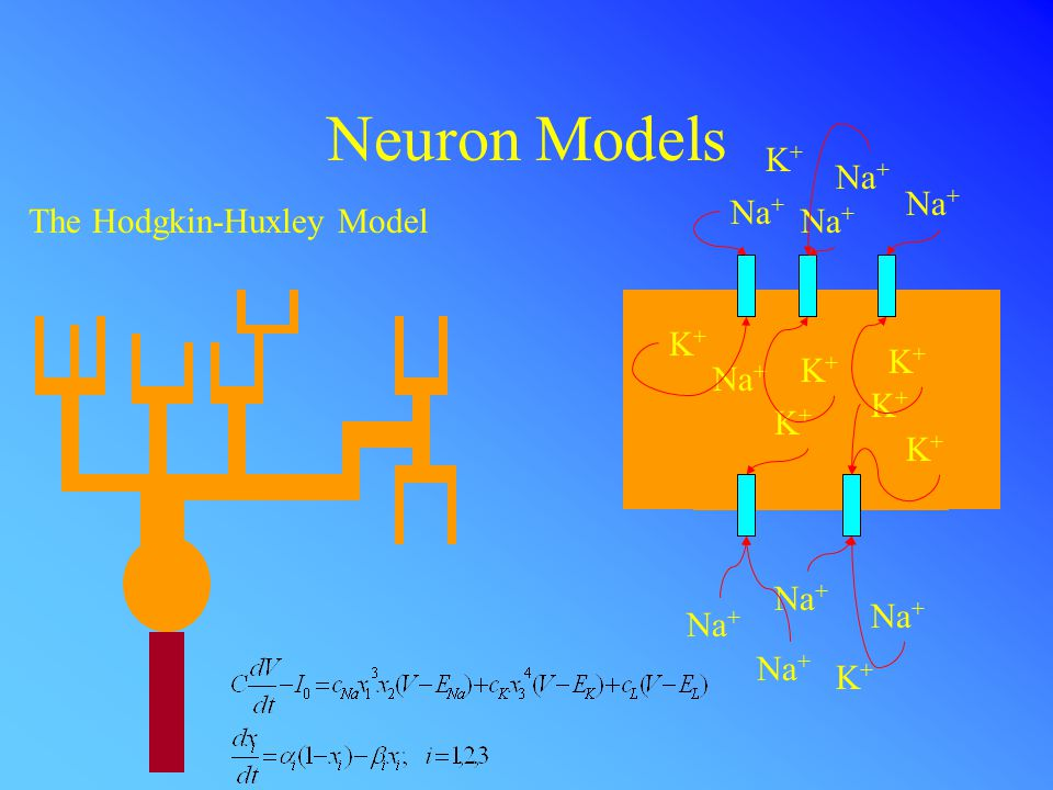 Neuron Models The Hodgkin-Huxley Model Na + K+K+ K+K+ K+K+ K+K+ K+K+ K+K+ K+K+ K+K+