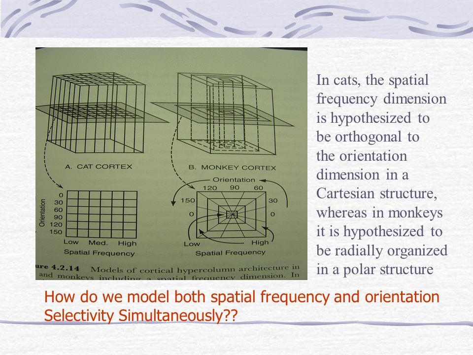 In cats, the spatial frequency dimension is hypothesized to be orthogonal to the orientation dimension in a Cartesian structure, whereas in monkeys it is hypothesized to be radially organized in a polar structure How do we model both spatial frequency and orientation Selectivity Simultaneously??