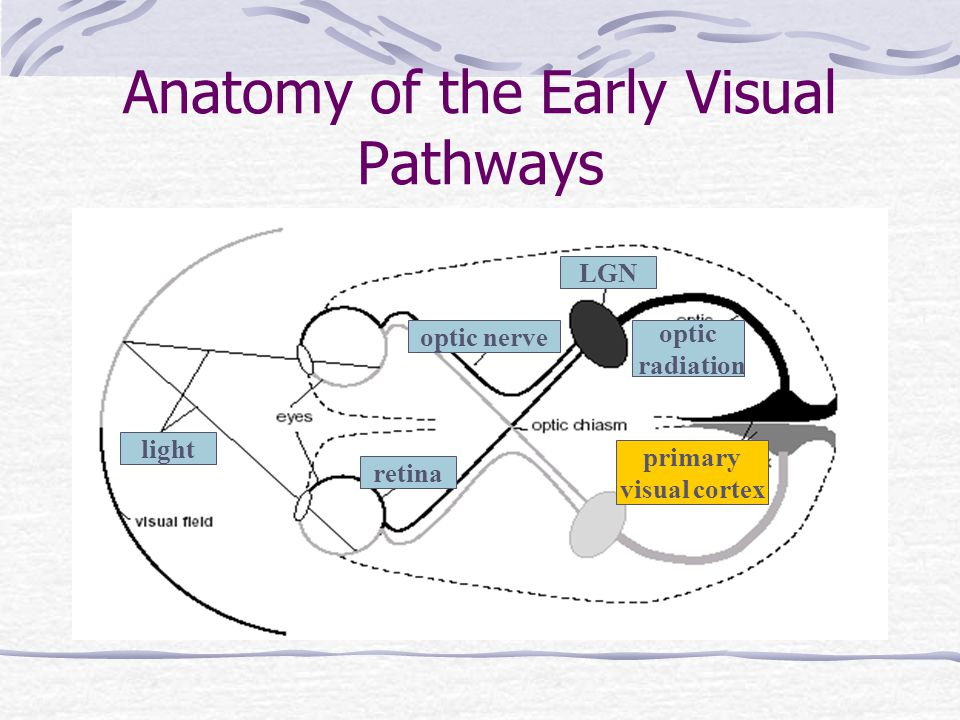 Anatomy of the Early Visual Pathways light retina optic nerve LGN optic radiation primary visual cortex