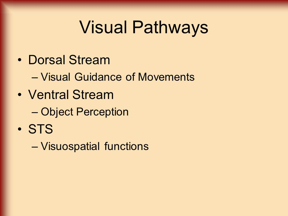 Visual Pathways Dorsal Stream –Visual Guidance of Movements Ventral Stream –Object Perception STS –Visuospatial functions