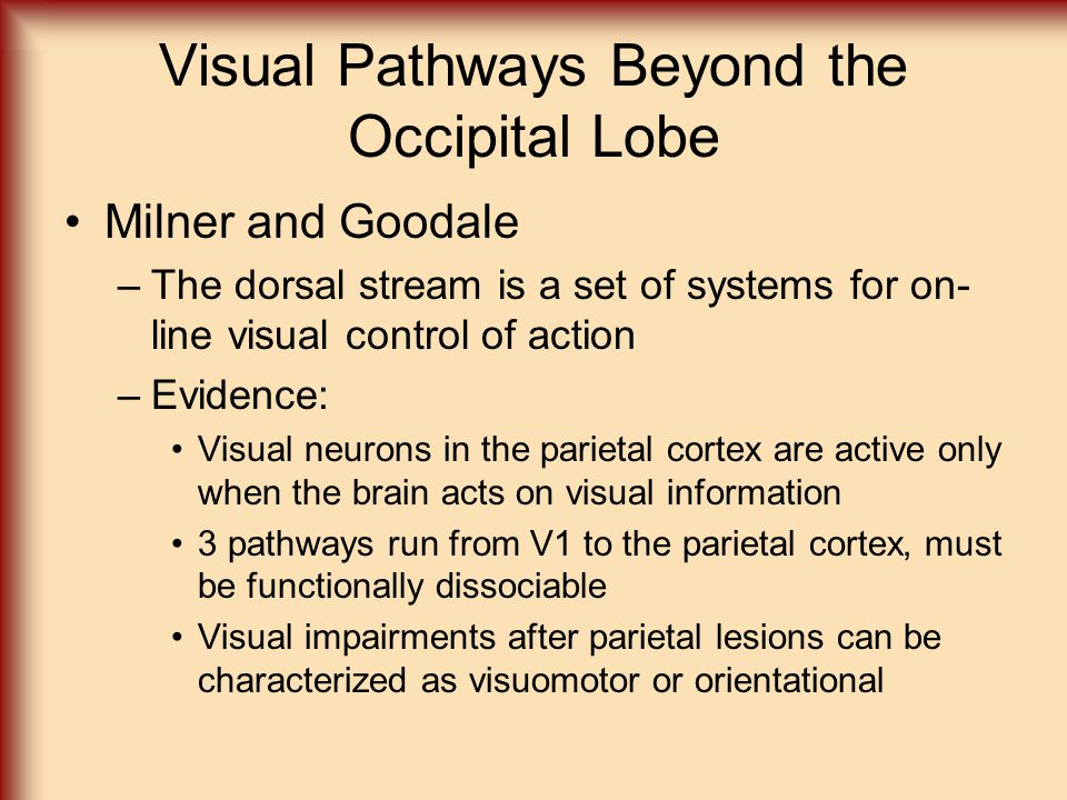 Visual Pathways Beyond the Occipital Lobe Milner and Goodale –The dorsal stream is a set of systems for on- line visual control of action –Evidence: V