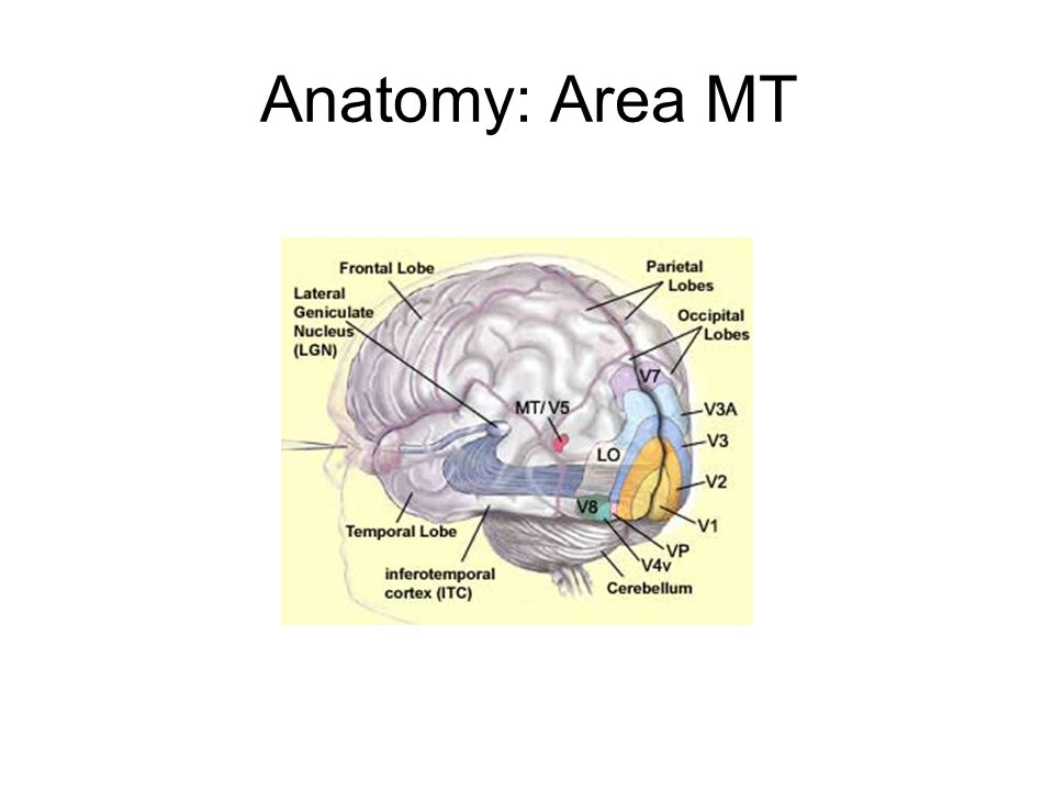 Anatomy: Area MT