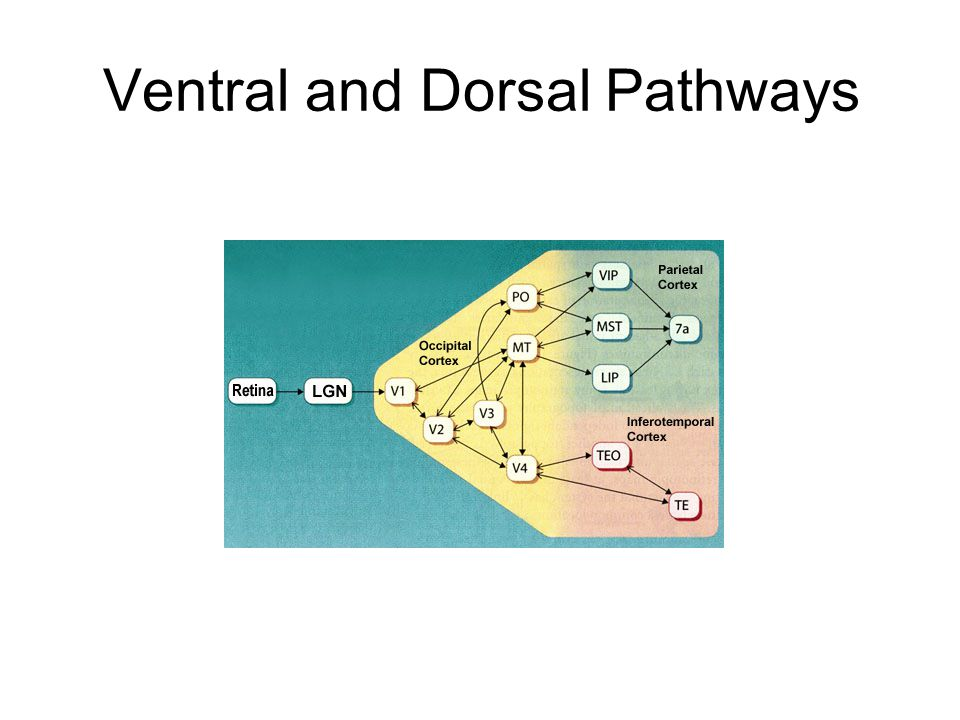 Ventral and Dorsal Pathways