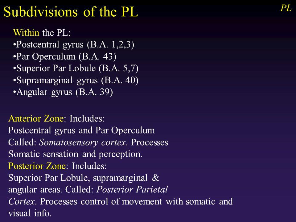 PL Within the PL: Postcentral gyrus (B.A. 1,2,3) Par Operculum (B.A.