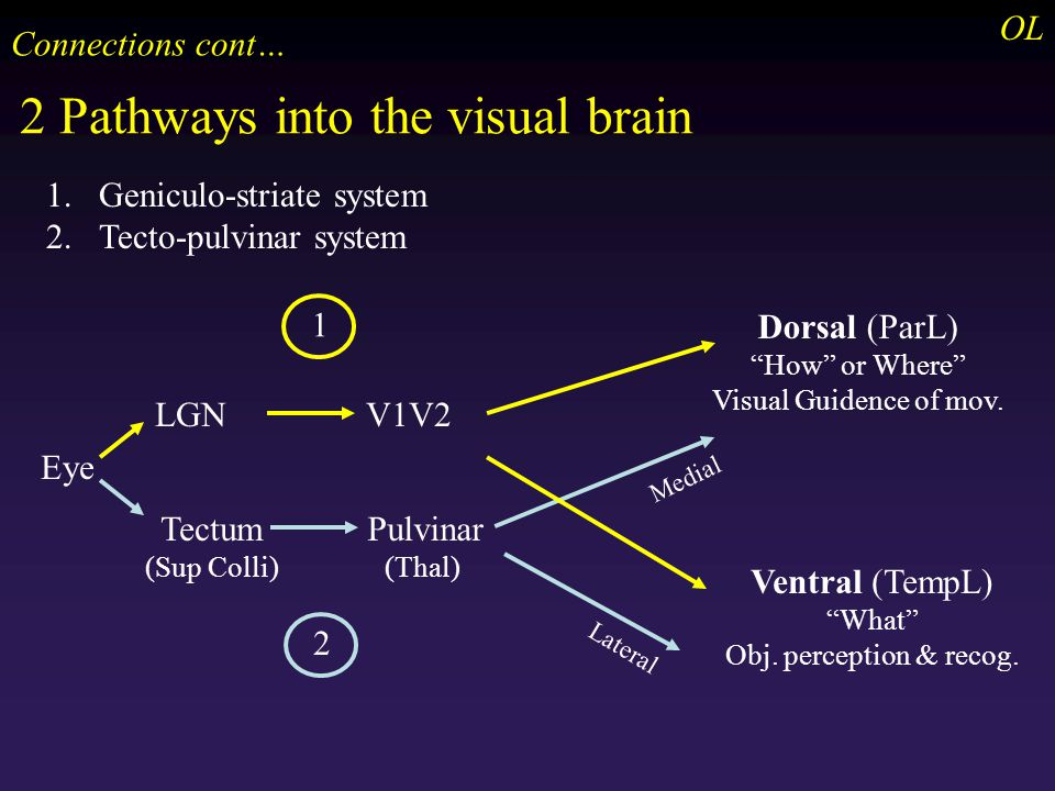 2 Pathways into the visual brain OL Eye LGNV1V2 Dorsal (ParL) How or Where Visual Guidence of mov.