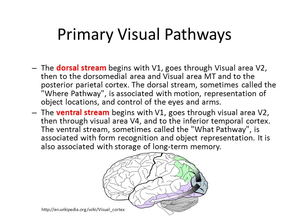 Primary Visual Pathways – The dorsal stream begins with V1, goes through Visual area V2, then to the dorsomedial area and Visual area MT and to the posterior parietal cortex.