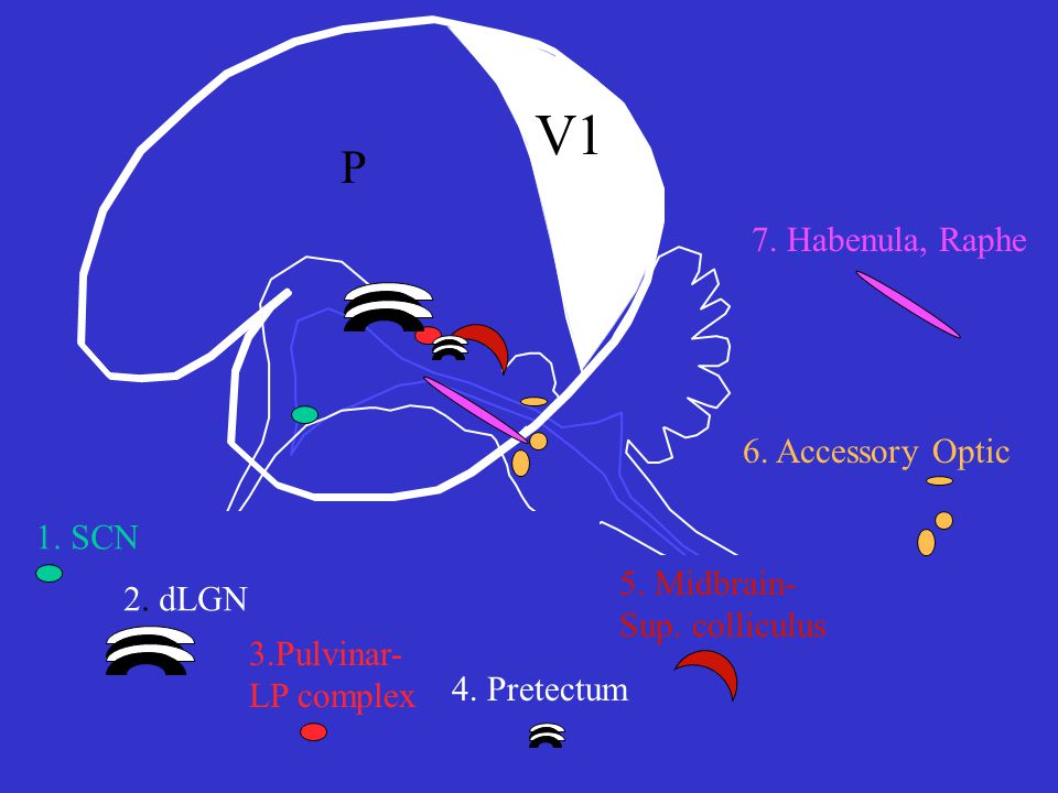 V1 P 1.SCN 2. dLGN 3.Pulvinar- LP complex 6. Accessory Optic 4.