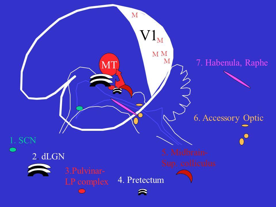 V1 MT M M 1. SCN 2. dLGN 3.Pulvinar- LP complex 6.