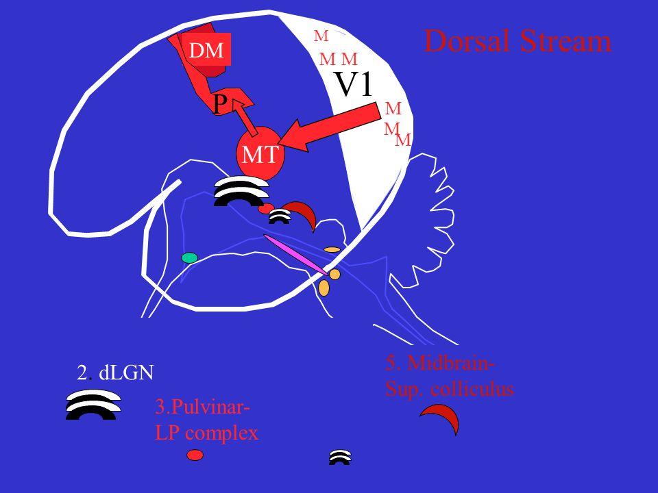V1 MT DM P M M 2. dLGN 3.Pulvinar- LP complex 5. Midbrain- Sup. colliculus Dorsal Stream M M MM