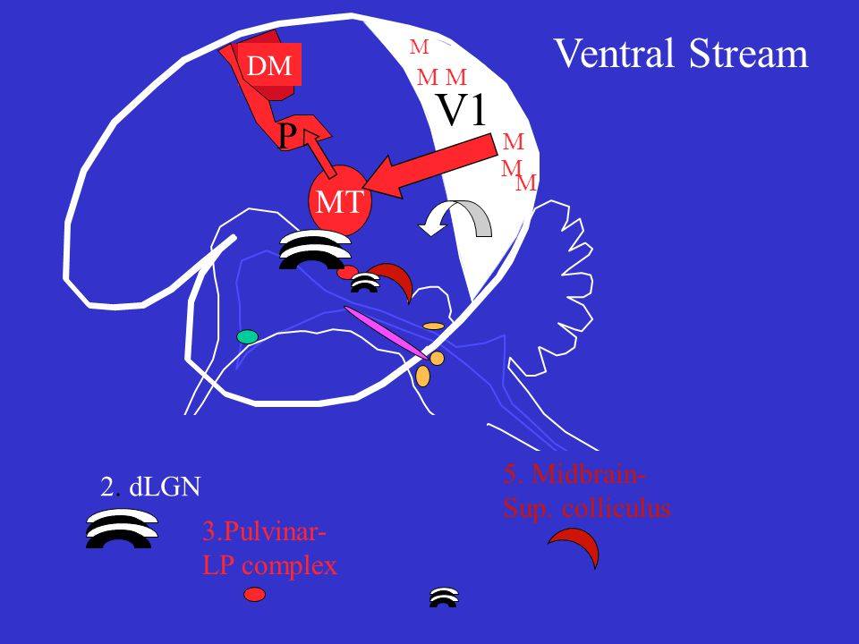 V1 MT DM P M M 2. dLGN 3.Pulvinar- LP complex 5. Midbrain- Sup. colliculus Ventral Stream M M MM