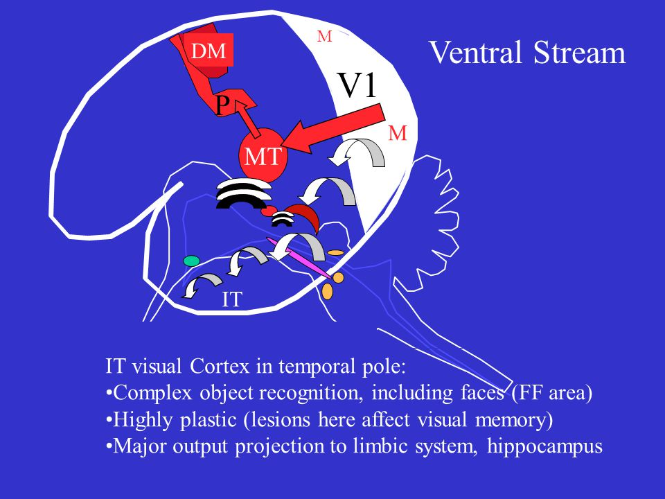 V1 MT DM P M M Ventral Stream IT IT visual Cortex in temporal pole: Complex object recognition, including faces (FF area) Highly plastic (lesions here affect visual memory) Major output projection to limbic system, hippocampus