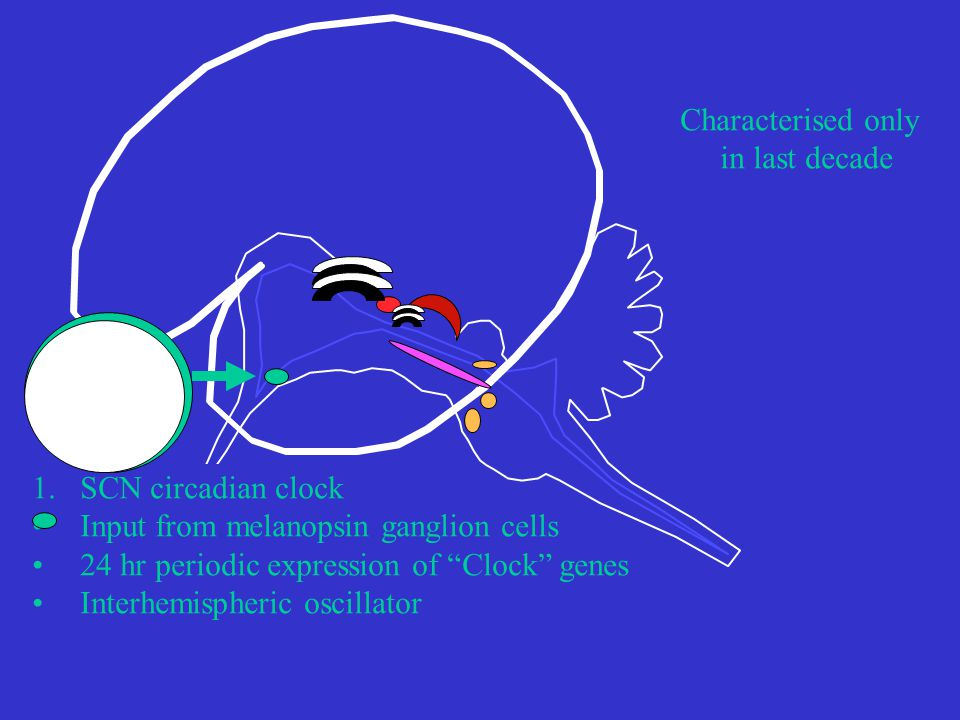 1.SCN circadian clock Input from melanopsin ganglion cells 24 hr periodic expression of Clock genes Interhemispheric oscillator Characterised only in last decade