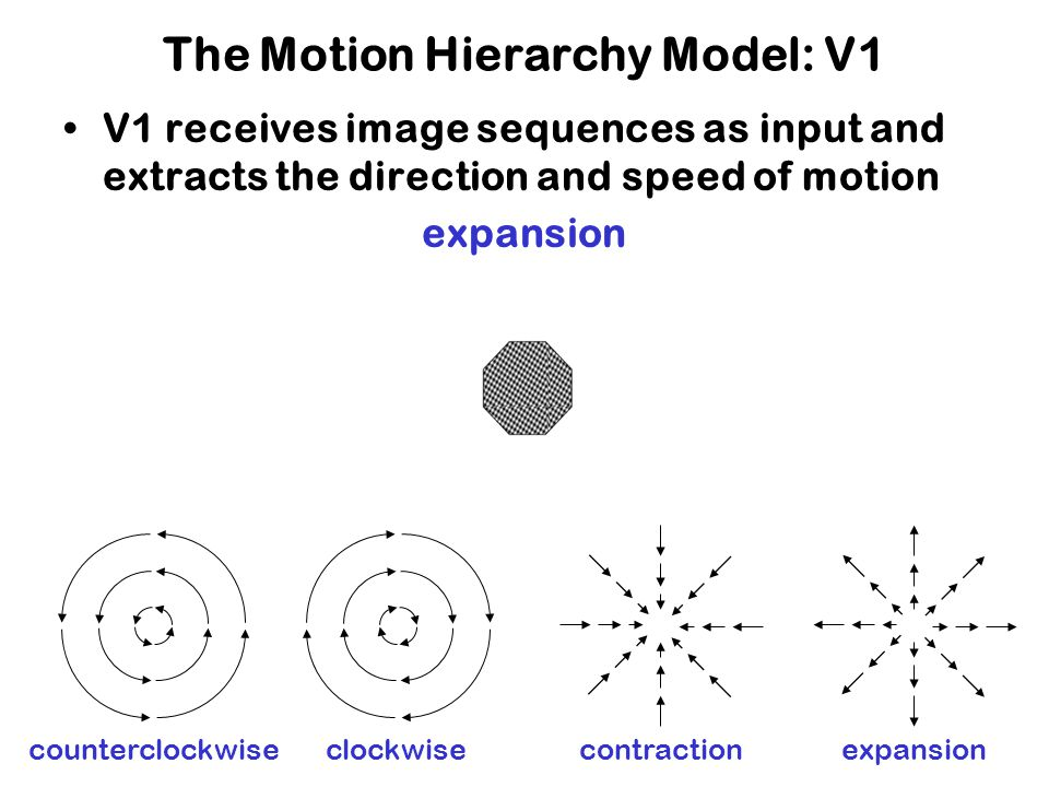 The Motion Hierarchy Model: V1 V1 receives image sequences as input and extracts the direction and speed of motion counterclockwise rotationclockwise rotationcontractionexpansion counterclockwiseclockwise contractionexpansion