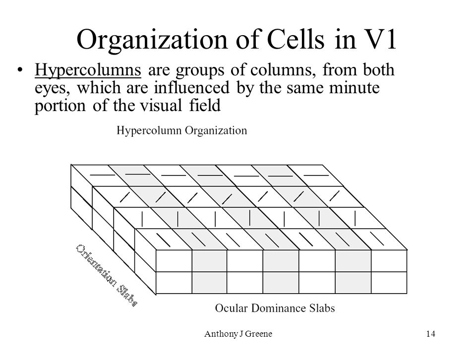 Anthony J Greene14 Organization of Cells in V1 Hypercolumns are groups of columns, from both eyes, which are influenced by the same minute portion of