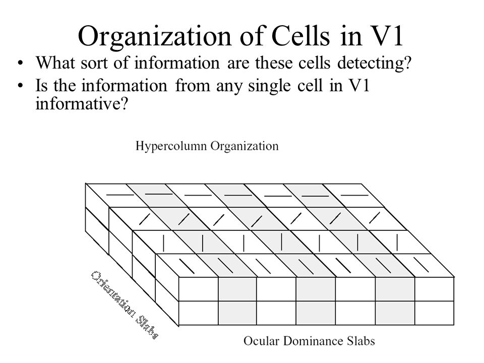 Anthony J Greene15 Organization of Cells in V1 What sort of information are these cells detecting? Is the information from any single cell in V1 infor