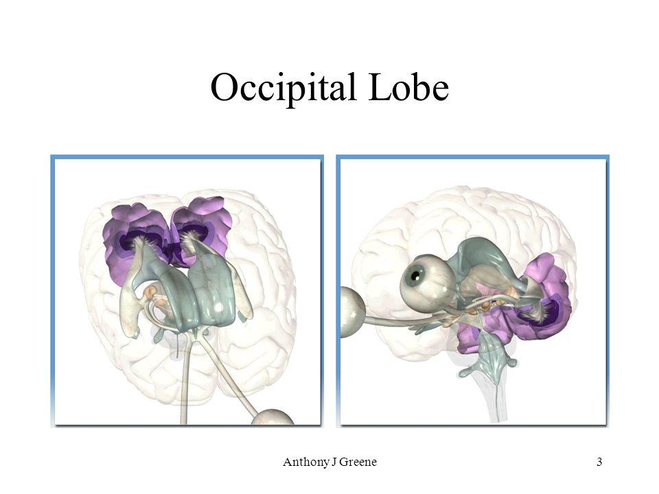Anthony J Greene3 Occipital Lobe