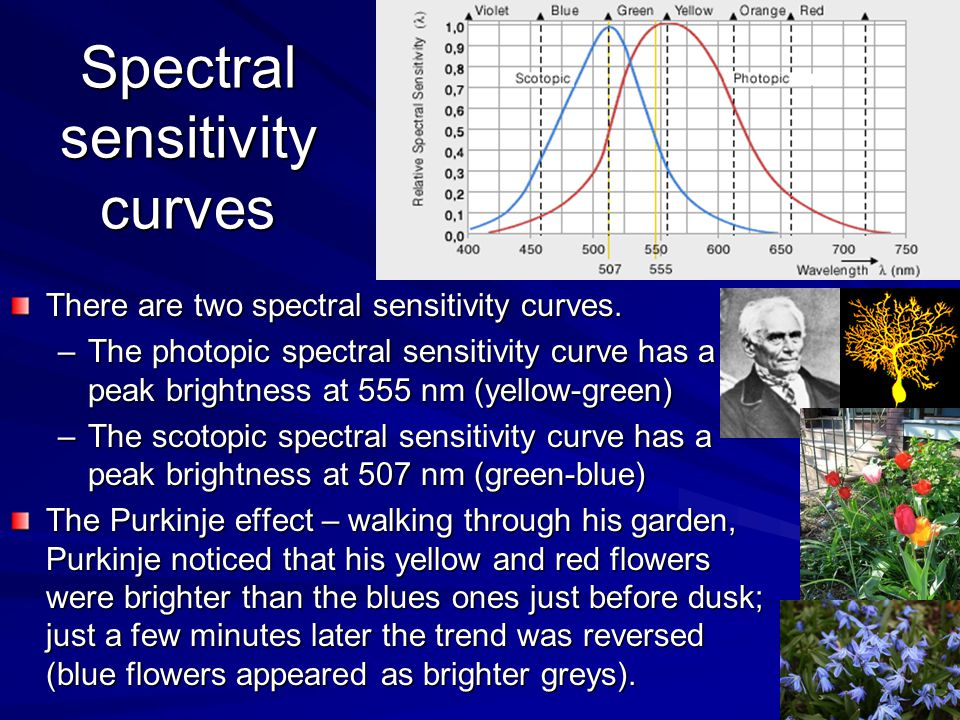 Spectral sensitivity curves There are two spectral sensitivity curves. –The photopic spectral sensitivity curve has a peak brightness at 555 nm (yello