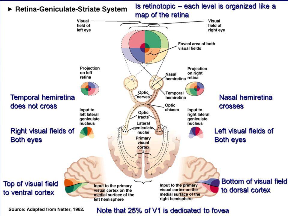 Temporal hemiretina does not cross Nasal hemiretina crosses Right visual fields of Both eyes Left visual fields of Both eyes Top of visual field to ve