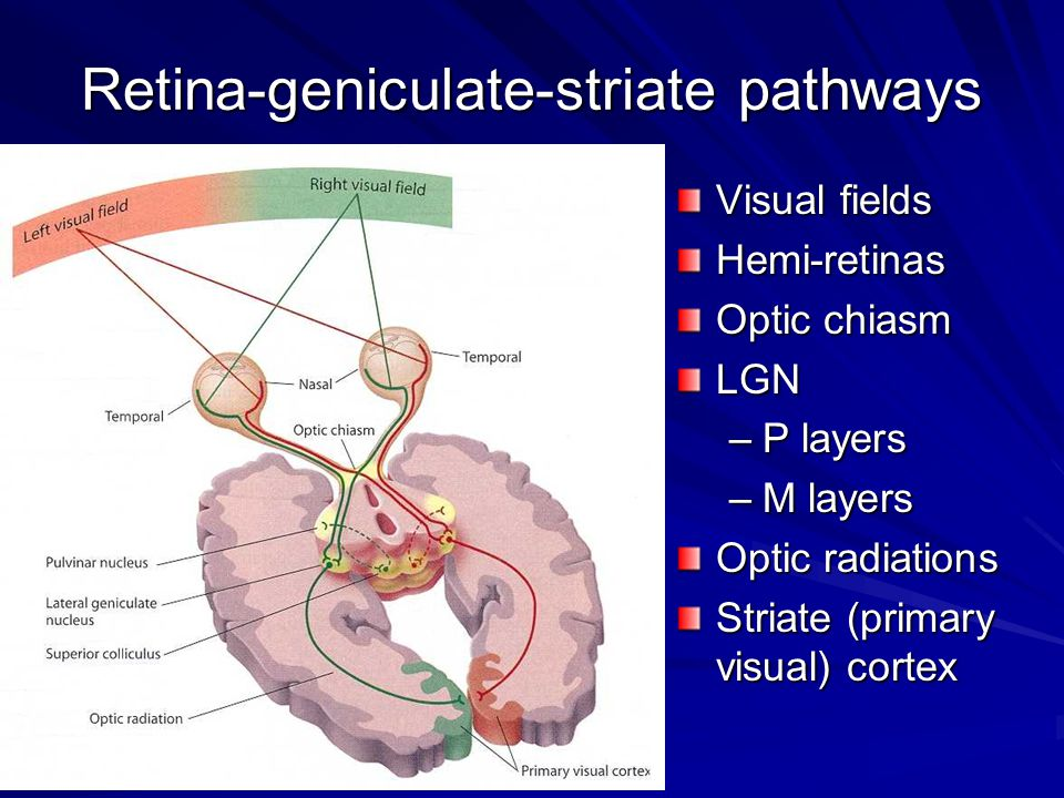 Retina-geniculate-striate pathways Visual fields Hemi-retinas Optic chiasm LGN –P layers –M layers Optic radiations Striate (primary visual) cortex