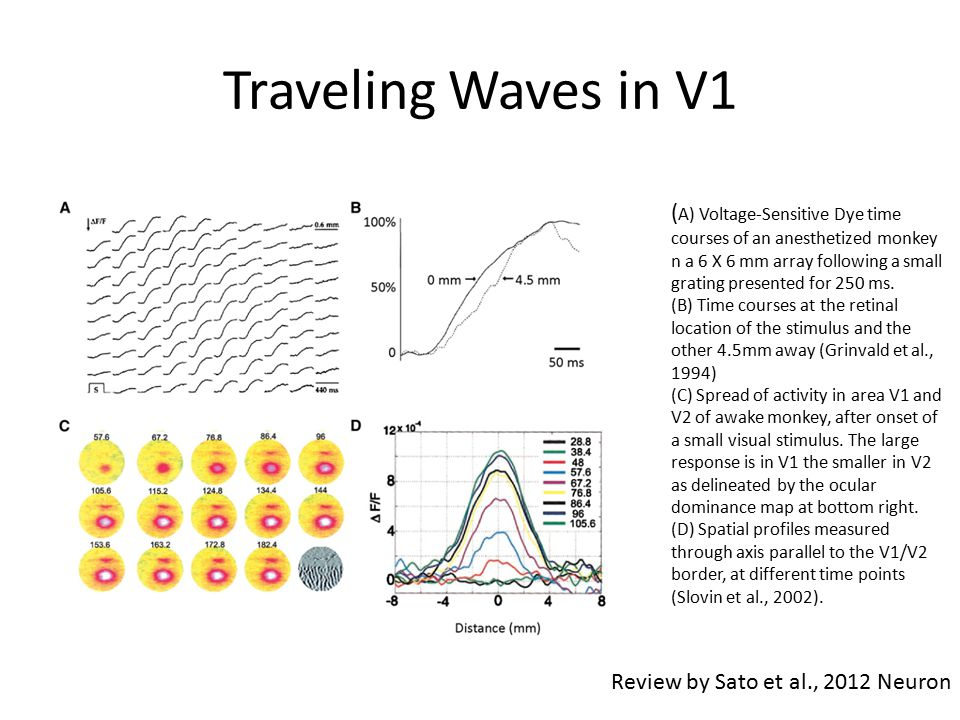 Traveling Waves in V1 ( A) Voltage-Sensitive Dye time courses of an anesthetized monkey n a 6 X 6 mm array following a small grating presented for 250
