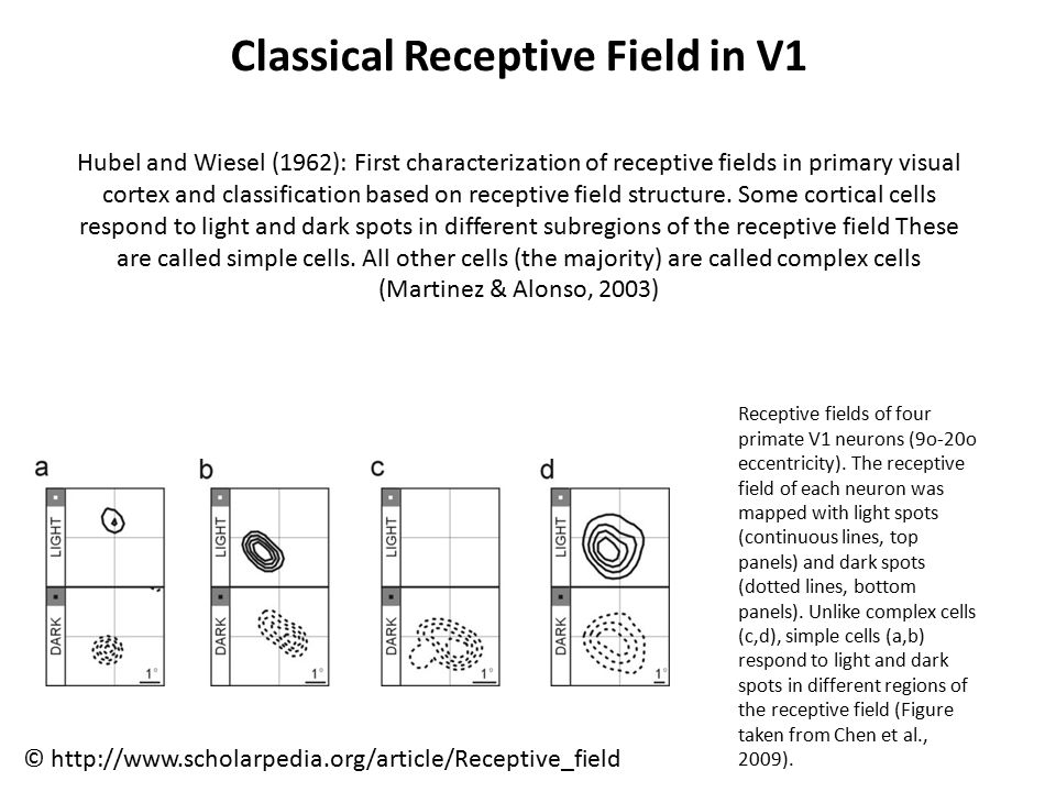 Classical Receptive Field in V1 Hubel and Wiesel (1962): First characterization of receptive fields in primary visual cortex and classification based on receptive field structure.