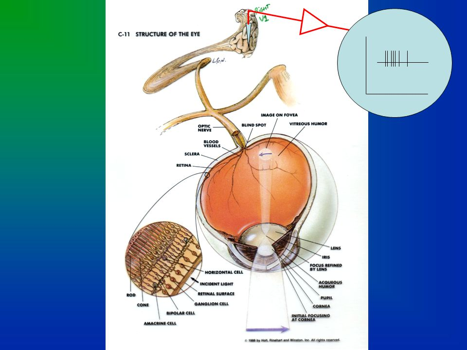 Note: A retinotopic map can also be found in the superior colliculus of the mesencephalon, but more distorted than at the cortex.