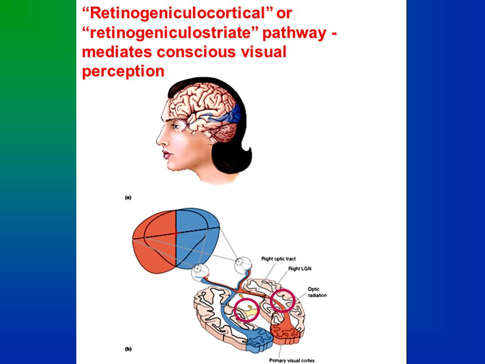 Retinogeniculate and retinotectal projections
