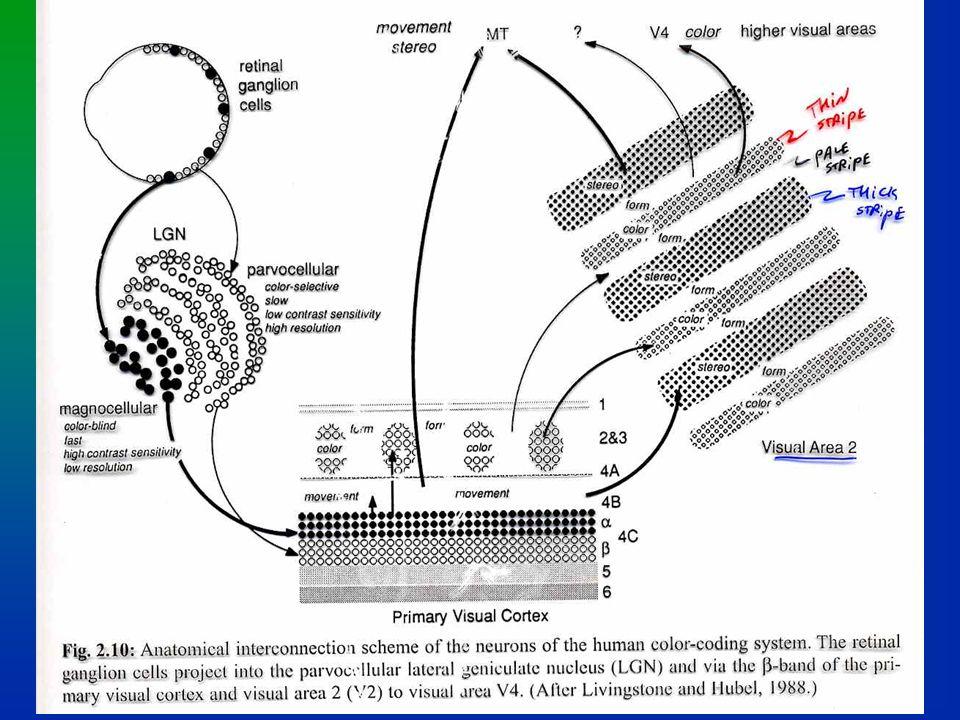 ipsilateral Magno (MC) & Parvo (PC) projections V3 (movement, orientation, depth) V5 (MT) (movement, dynamic form) RIGHT LGN LEFT RIGHT V4 (form, color, constancies) Inferotemporal (high form) contralateral