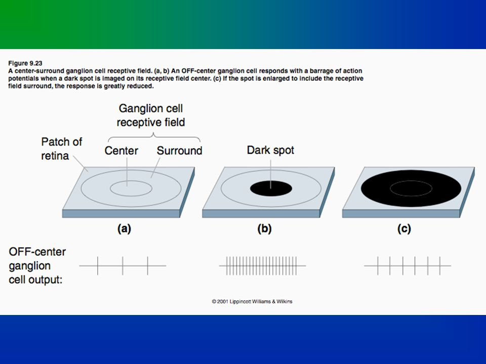 On-Center; Off-Surround Cell in LGN Historic movie footage of early single-cell recording in the cat visual system by David Hubel and Torsten Wiesel.