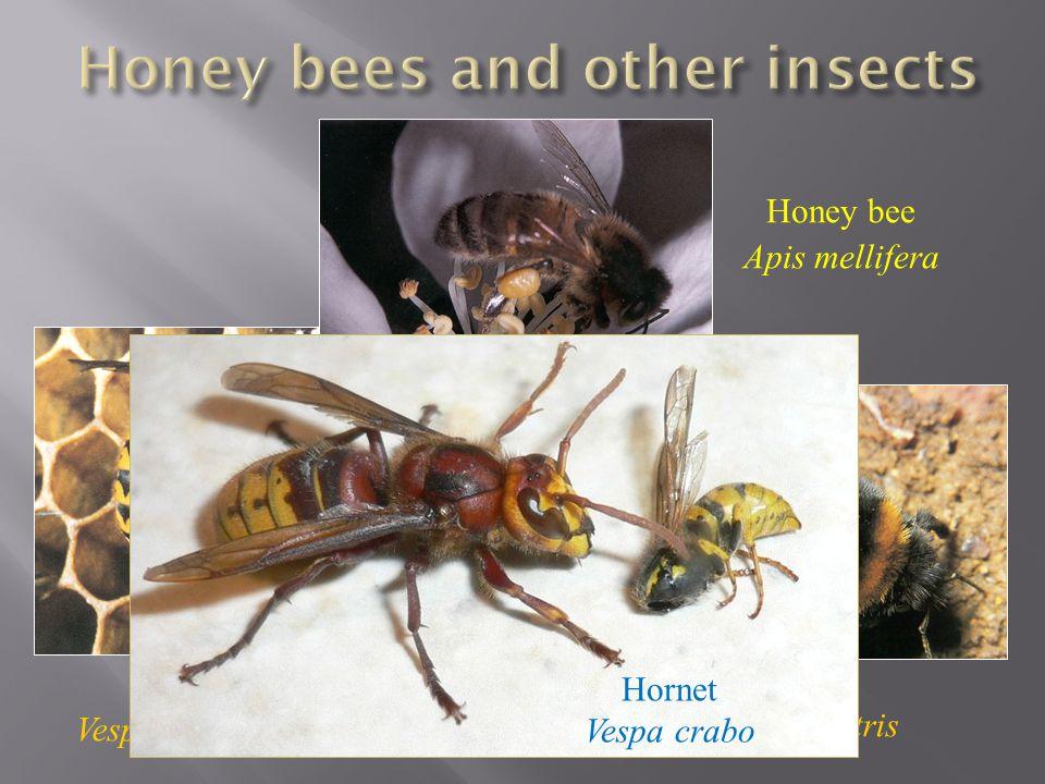 Wasp Vespula vulgaris Honey bee Apis mellifera Bumble bee Bombus terrestris Hornet Vespa crabo
