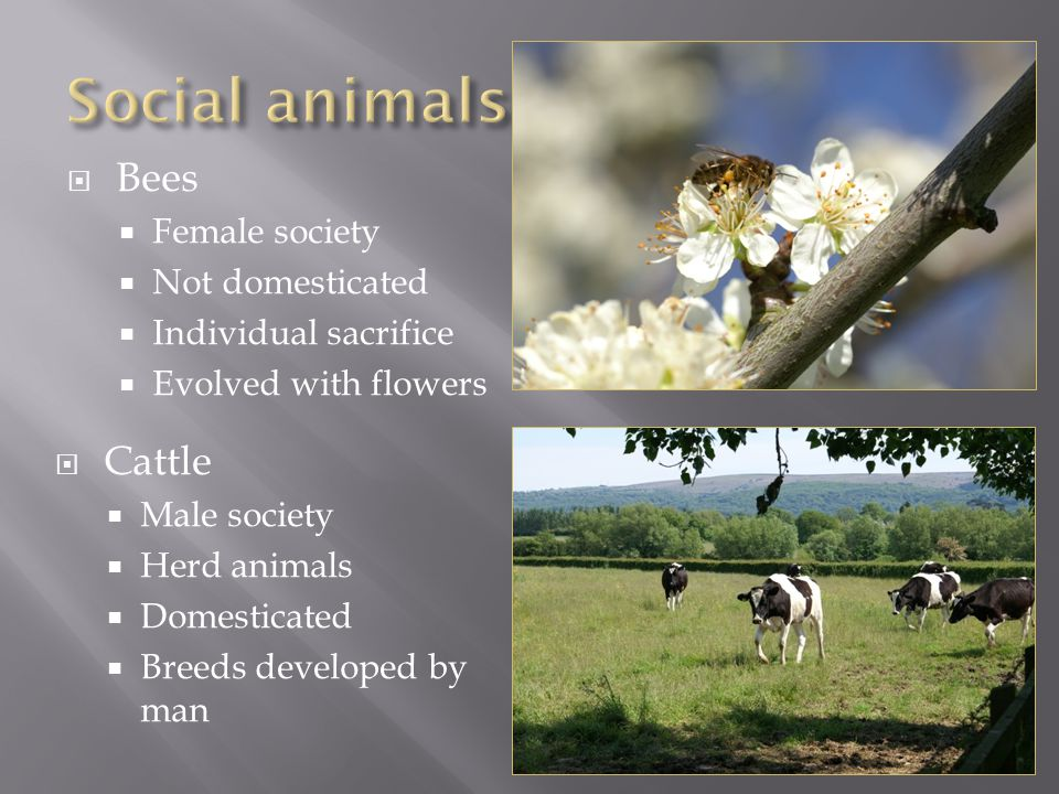  Bees  Female society  Not domesticated  Individual sacrifice  Evolved with flowers  Cattle  Male society  Herd animals  Domesticated  Breeds developed by man