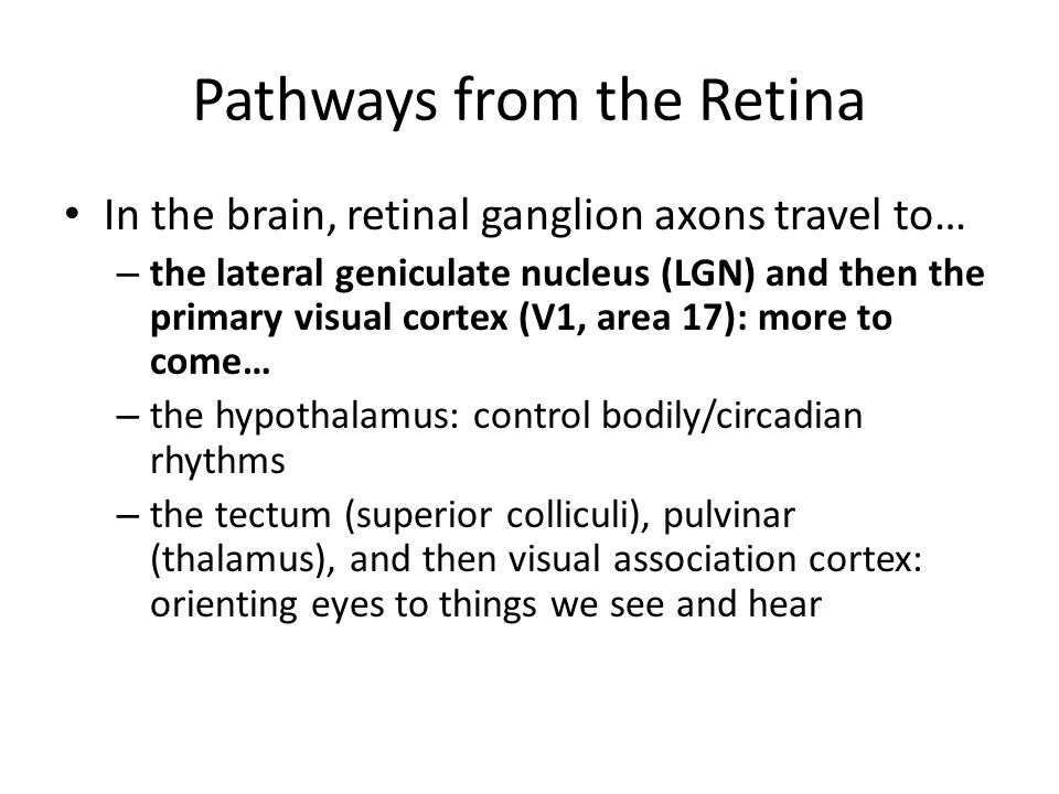Pathways from the Retina In the brain, retinal ganglion axons travel to… – the lateral geniculate nucleus (LGN) and then the primary visual cortex (V1, area 17): more to come… – the hypothalamus: control bodily/circadian rhythms – the tectum (superior colliculi), pulvinar (thalamus), and then visual association cortex: orienting eyes to things we see and hear