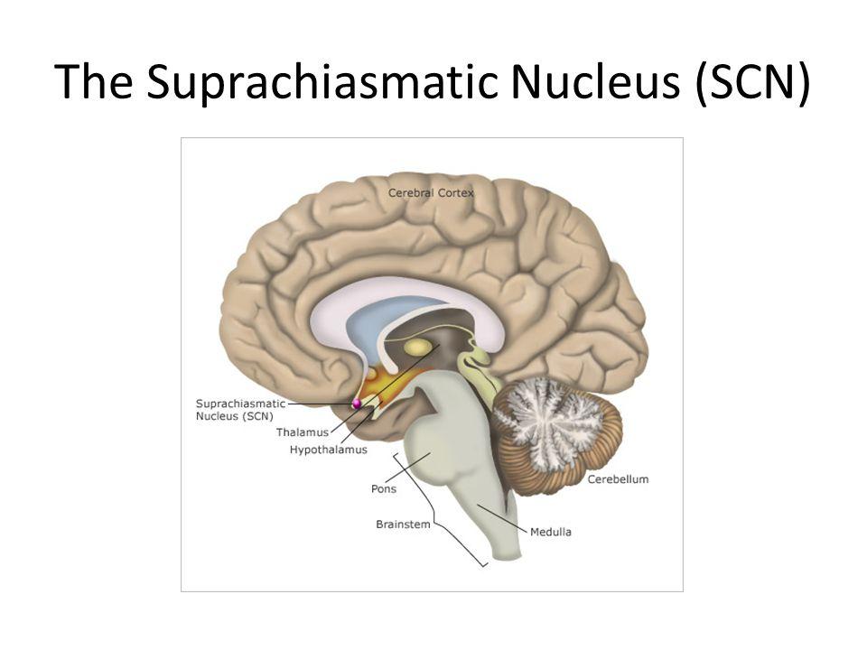 The Suprachiasmatic Nucleus (SCN)
