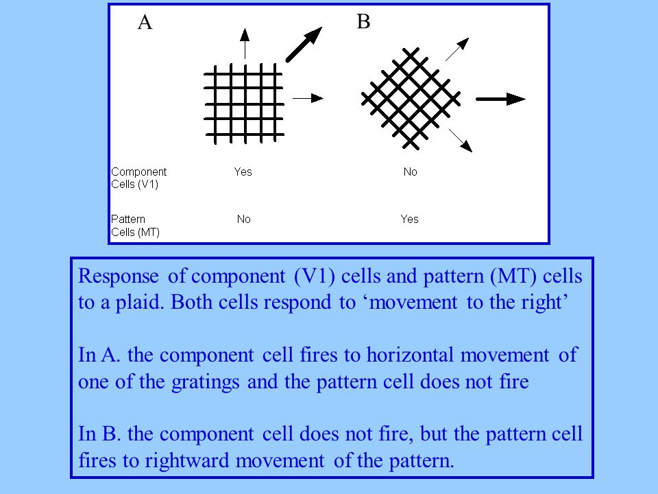Response of component (V1) cells and pattern (MT) cells to a plaid.