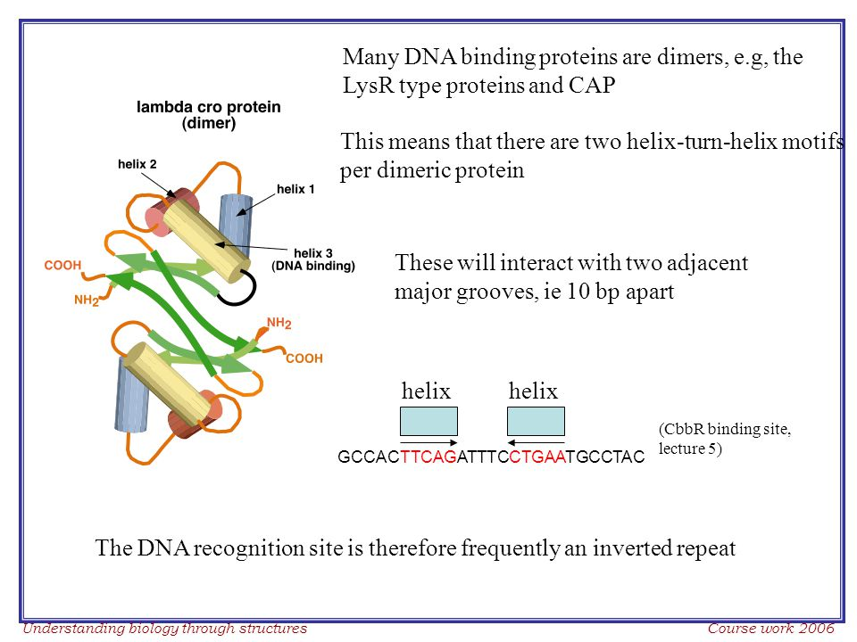 Understanding biology through structures Course work 2006 Many DNA binding proteins are dimers, e.g, the LysR type proteins and CAP This means that there are two helix-turn-helix motifs per dimeric protein These will interact with two adjacent major grooves, ie 10 bp apart The DNA recognition site is therefore frequently an inverted repeat GCCACTTCAGATTTCCTGAATGCCTAC helix (CbbR binding site, lecture 5)