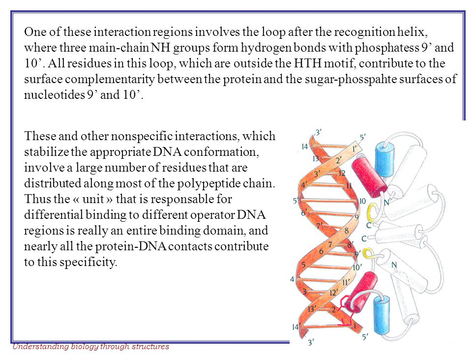 Understanding biology through structures Course work 2006 One of these interaction regions involves the loop after the recognition helix, where three main-chain NH groups form hydrogen bonds with phosphatess 9' and 10'.