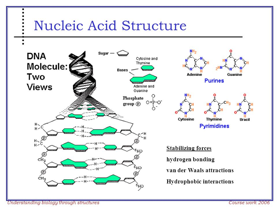 Understanding biology through structures Course work 2006 Nucleic Acid Structure Stabilizing forces hydrogen bonding van der Waals attractions Hydrophobic interactions