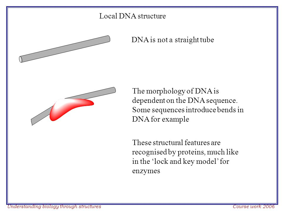 Understanding biology through structures Course work 2006 DNA is not a straight tube The morphology of DNA is dependent on the DNA sequence.
