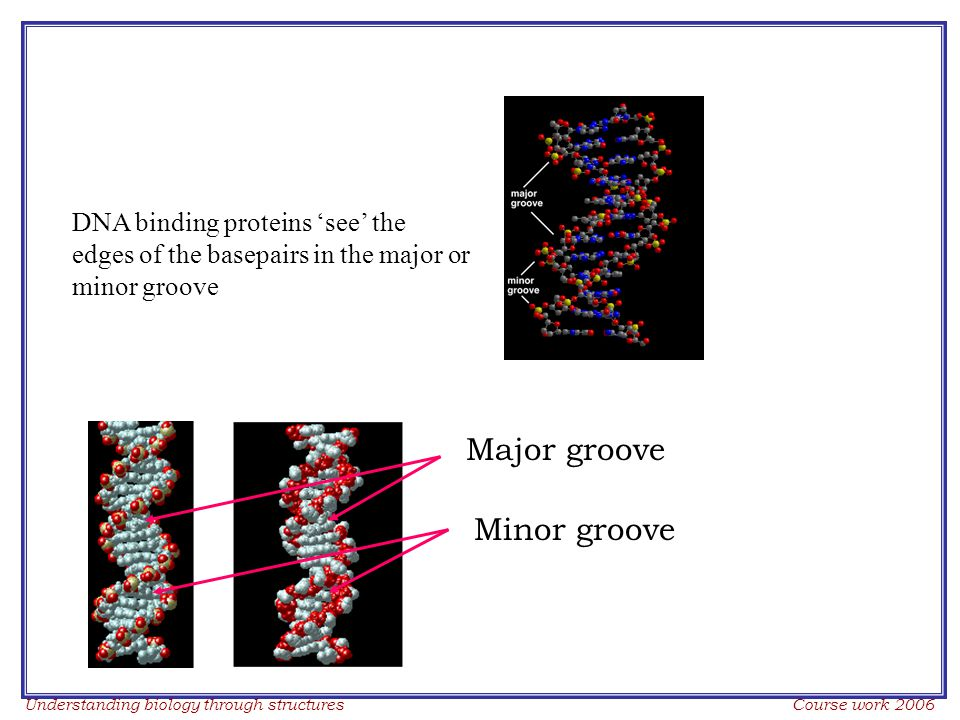Understanding biology through structures Course work 2006 DNA binding proteins 'see' the edges of the basepairs in the major or minor groove Major groove Minor groove