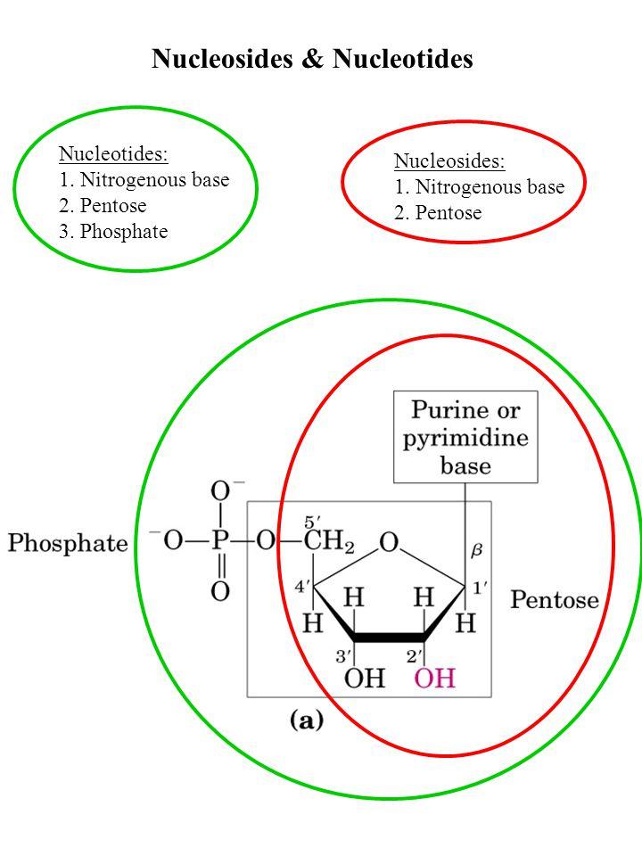 Nucleosides & Nucleotides Nucleotides: 1. Nitrogenous base 2.