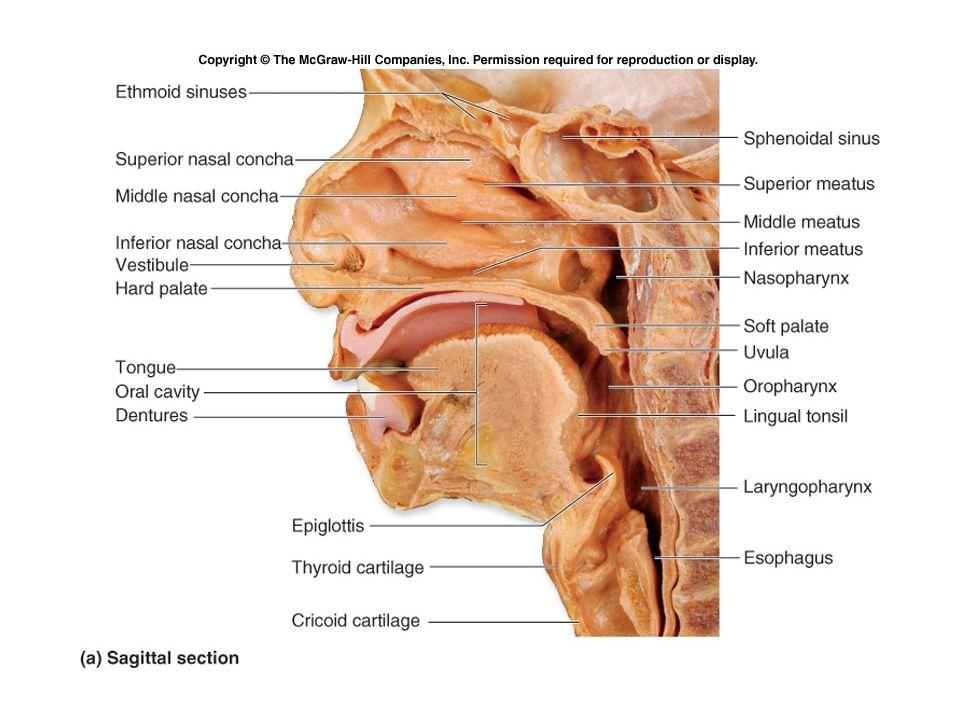 Anatomy: Nasopharynx Eustachian tube Torus Tubaris Fossa of Rosenmuller