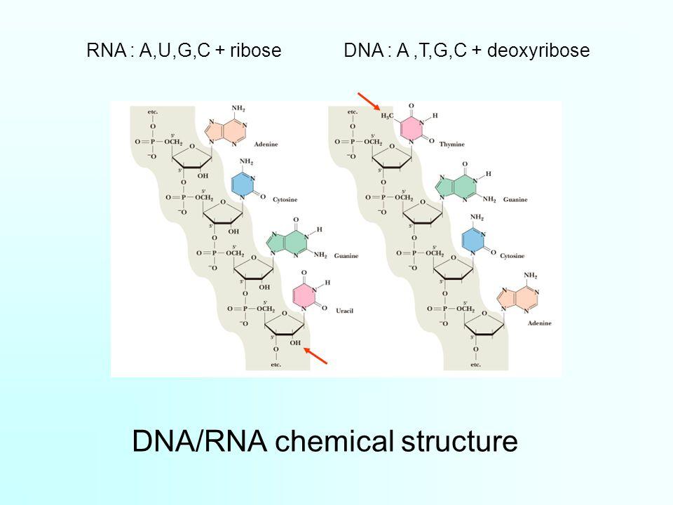 DNA/RNA chemical structure DNA : A,T,G,C + deoxyribose RNA : A,U,G,C + ribose