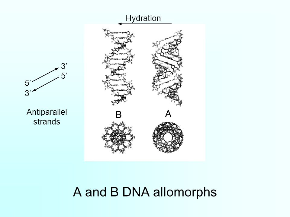 A and B DNA allomorphs B A Hydration Antiparallel strands 5' 3'