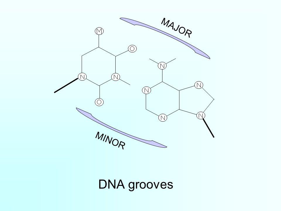 DNA grooves MINOR MAJOR