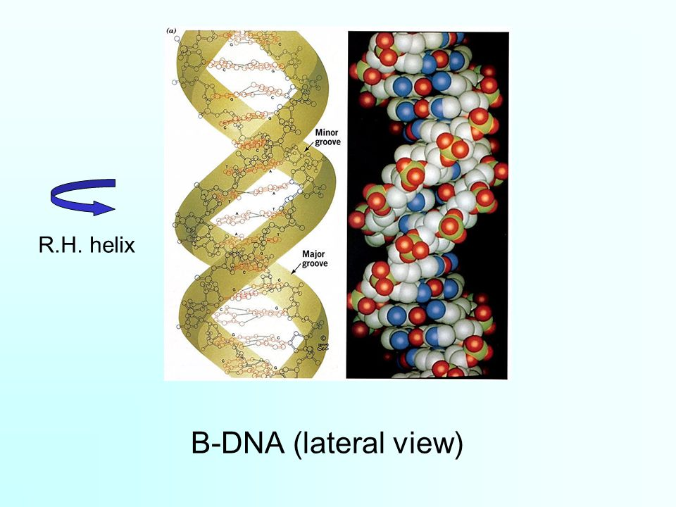 B-DNA (lateral view) R.H. helix
