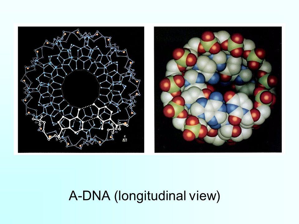 A-DNA (longitudinal view)