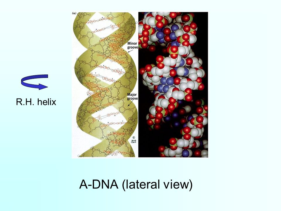 A-DNA (lateral view) R.H. helix