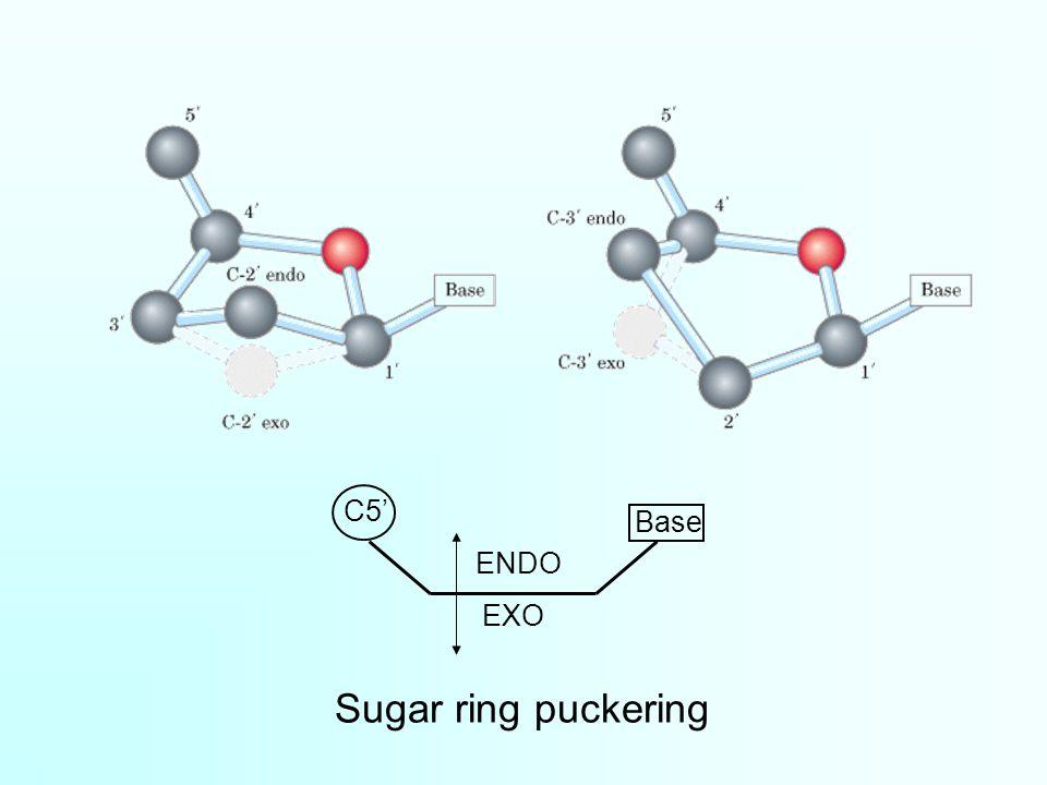 Sugar ring puckering C5' ENDO EXO Base