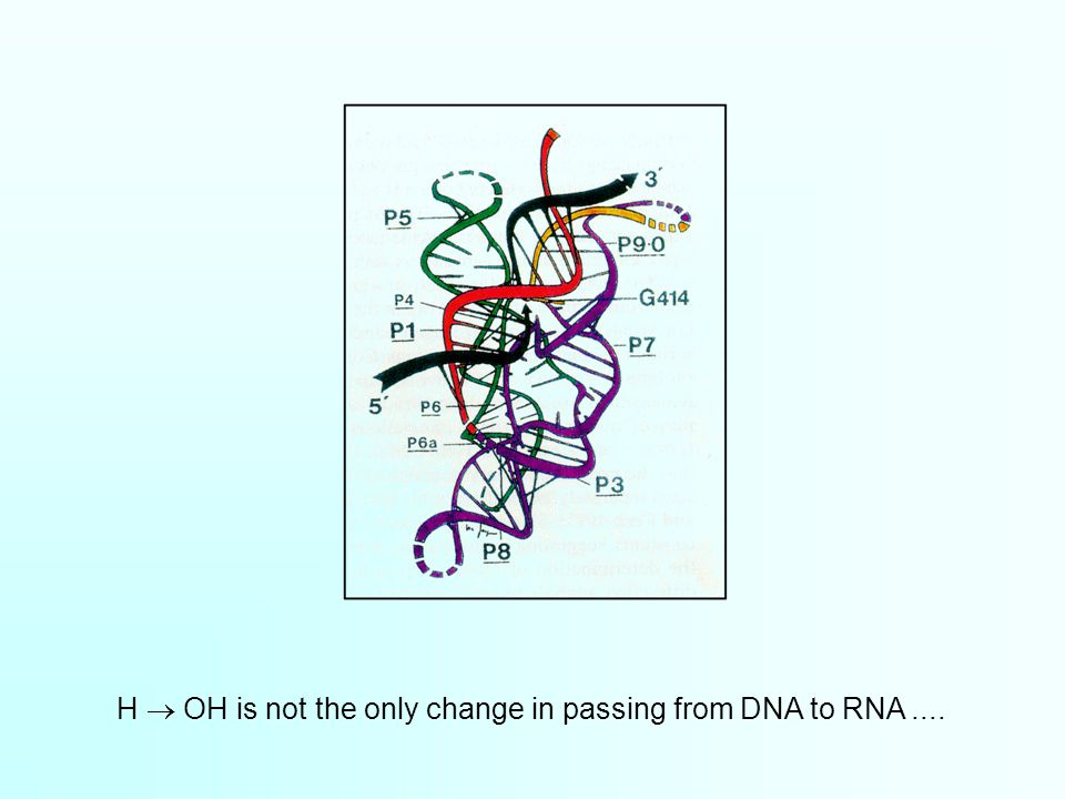 H  OH is not the only change in passing from DNA to RNA....