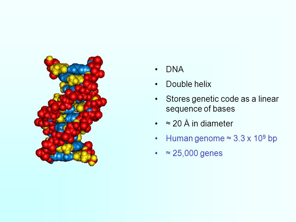 DNA Double helix Stores genetic code as a linear sequence of bases ≈ 20 Å in diameter Human genome ≈ 3.3 x 10 9 bp ≈ 25,000 genes